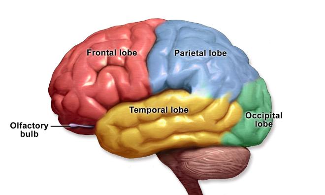 Pruning the Teenage Brain