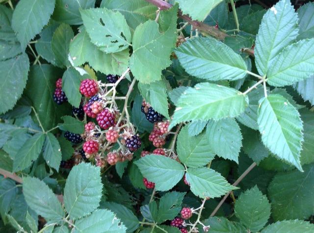 wild black berries