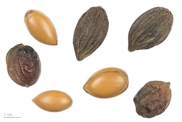 Argan kernels for oil