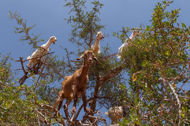 argan tree and goats