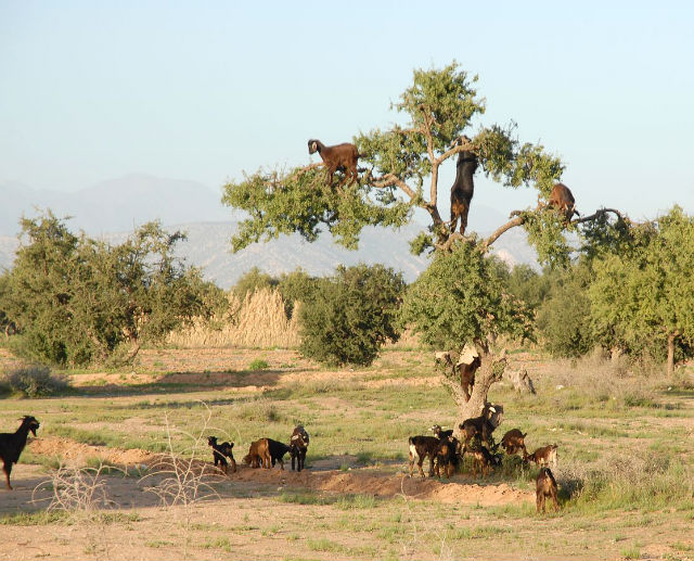 argan tree goats