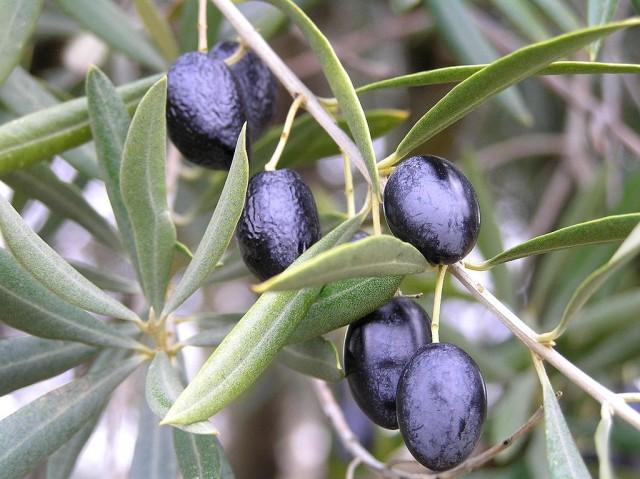 Olive Tree -- Olive Oil