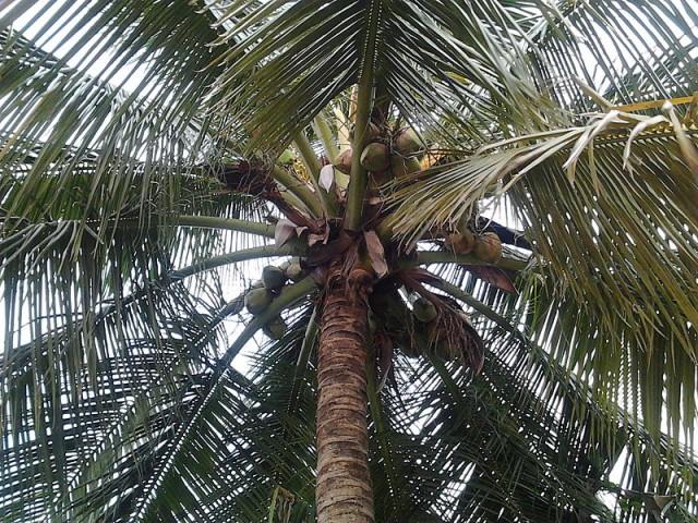 Coconut Tree -- Coconut Oil