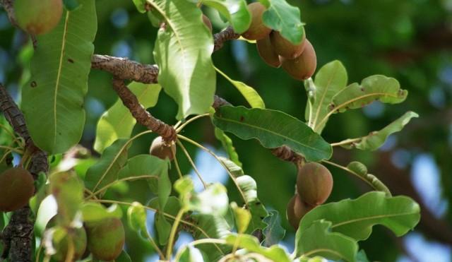 Shea Tree -- Shea Nut Butter