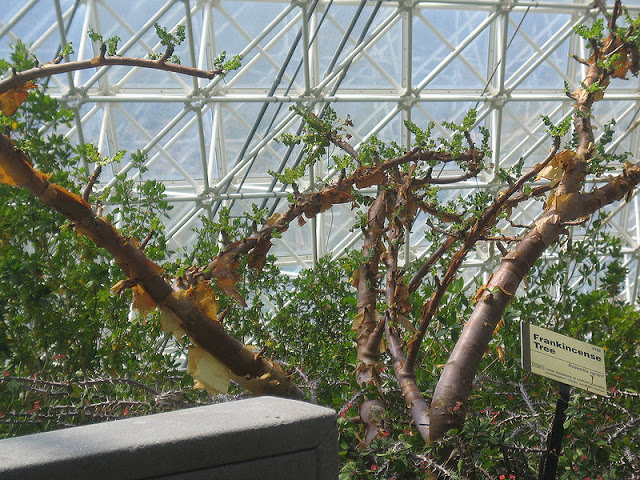 800px-boswellia-sacra-greenhouse