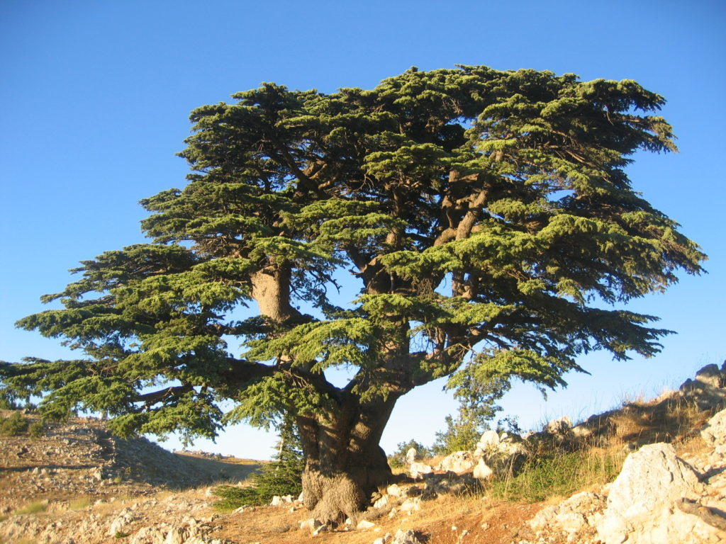 Cedar tree of Abram's dream